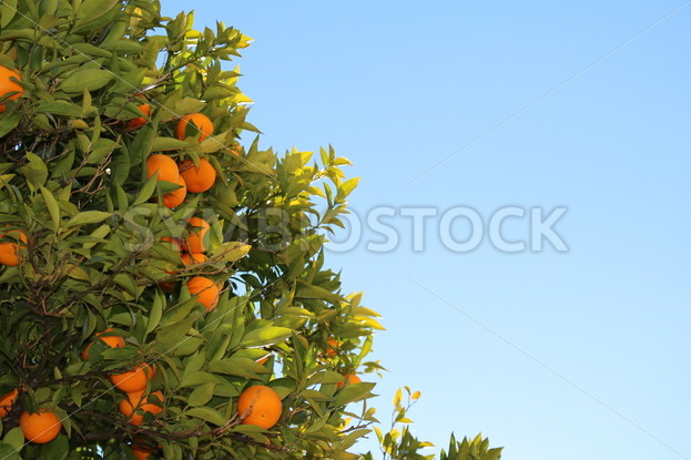 Fresh Oranges Growing on a Tree – Symbiostock Express Demo