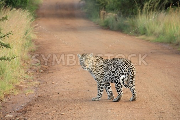 Leopard Walking on a Dirt Road - Symbiostock Express Demo