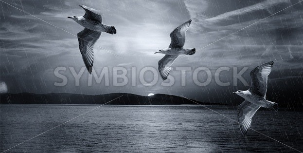 Seagulls Flying Illustration – Symbiostock Express Demo