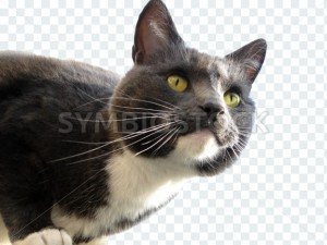 Transparent Cat - Symbiostock Express Demo