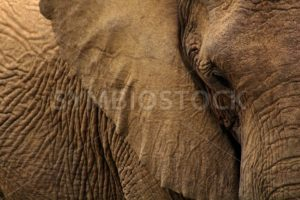 African Elephant - Symbiostock Express Demo